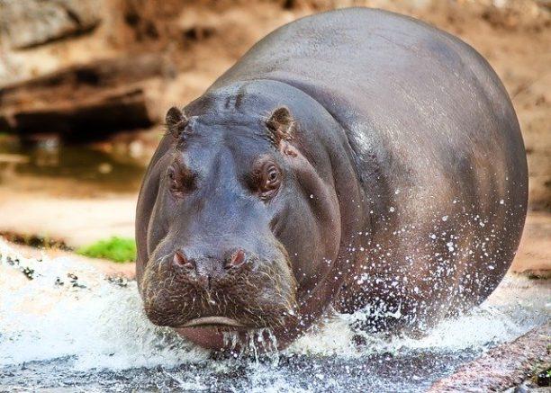 英語でカバはhippopotamus