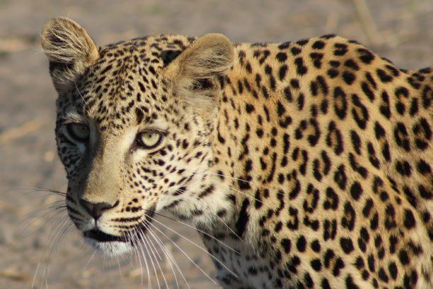 英語でヒョウはleopard