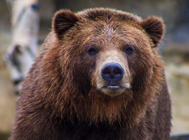 英語で熊はbear