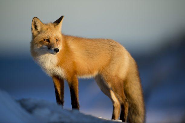 英語で狐はfox