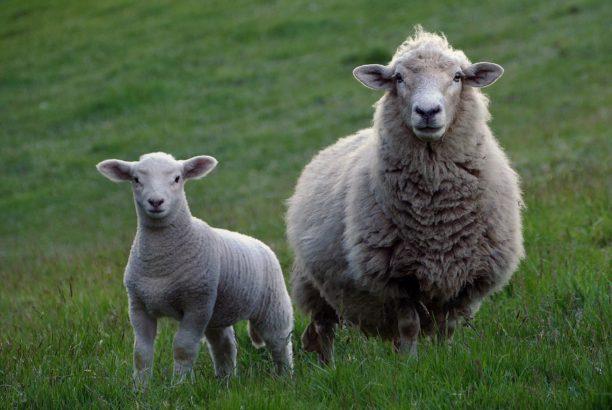 英語で羊はseep