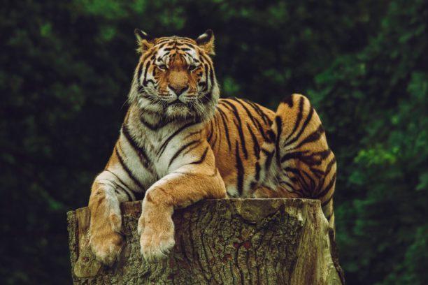 英語で虎はtiger
