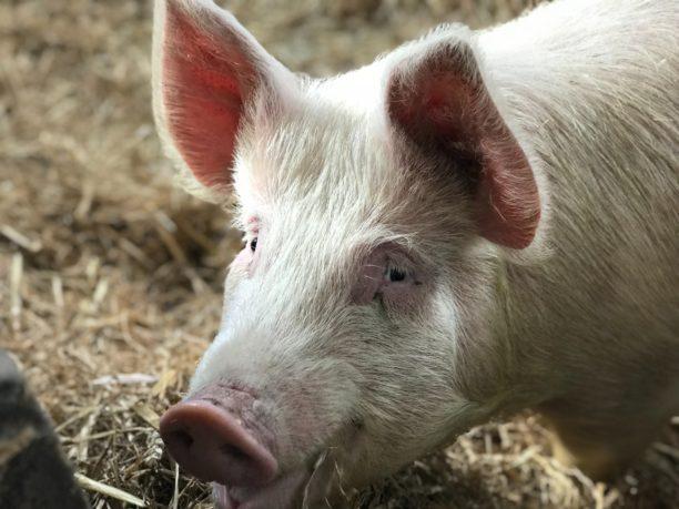 英語で豚はpig